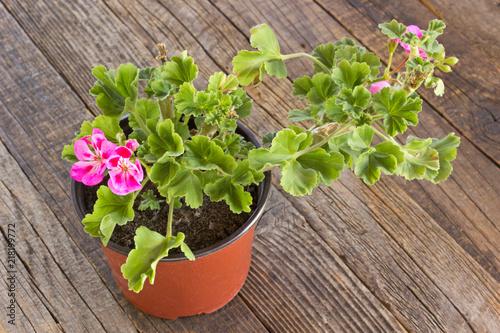 Geranium pelargonium flower in pot on wooden background