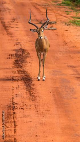 Foto op Aluminium Antilope Blessbock