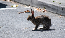 Wild Rabbit Crossing