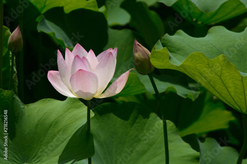 Foto op Canvas Lotusbloem Lotus blossom in a pond.