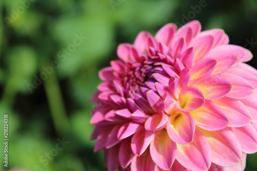 pink dahlia flower pink suffusion
