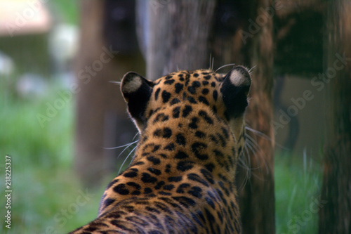 Tuinposter Luipaard Leopard at the zoo