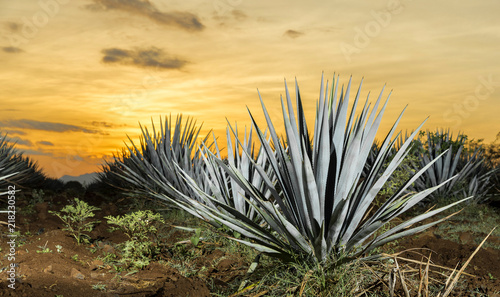 Tequila agave  lanscape sunset Wallpaper Mural