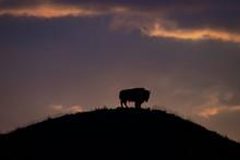 Solitary Bison Sunrise Hilltop...