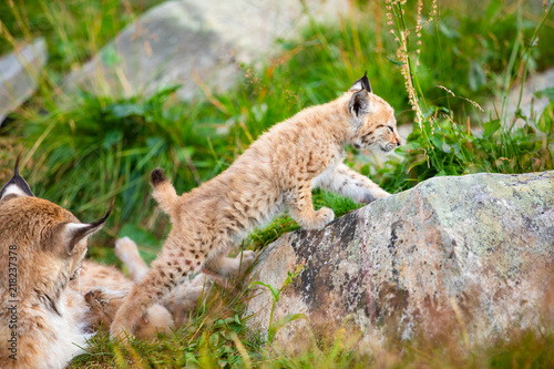 Poster Lynx Lynx mother and cute young cubs playing in the grass