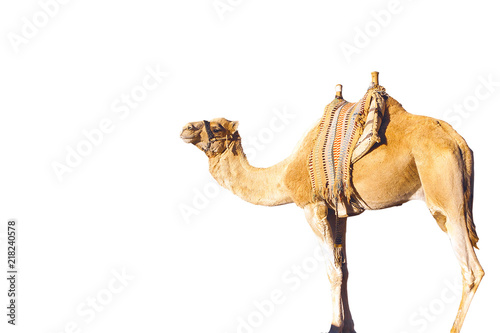 Tuinposter Kameel dromedary arabian camel isolated on white background