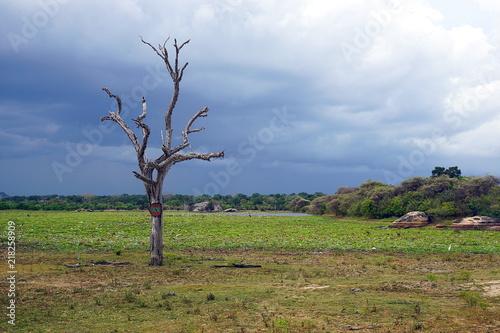 Poster Afrique A dead tree in Yala National Park, Sri Lanka