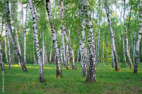 birch grove in spring, trees green foliage, horizontal composition