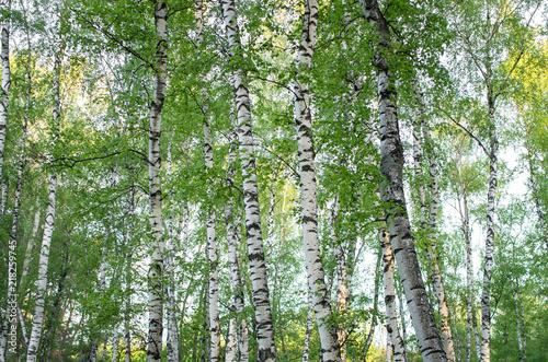 Naklejka premium pnie drzew w brzozowym gaju, latem