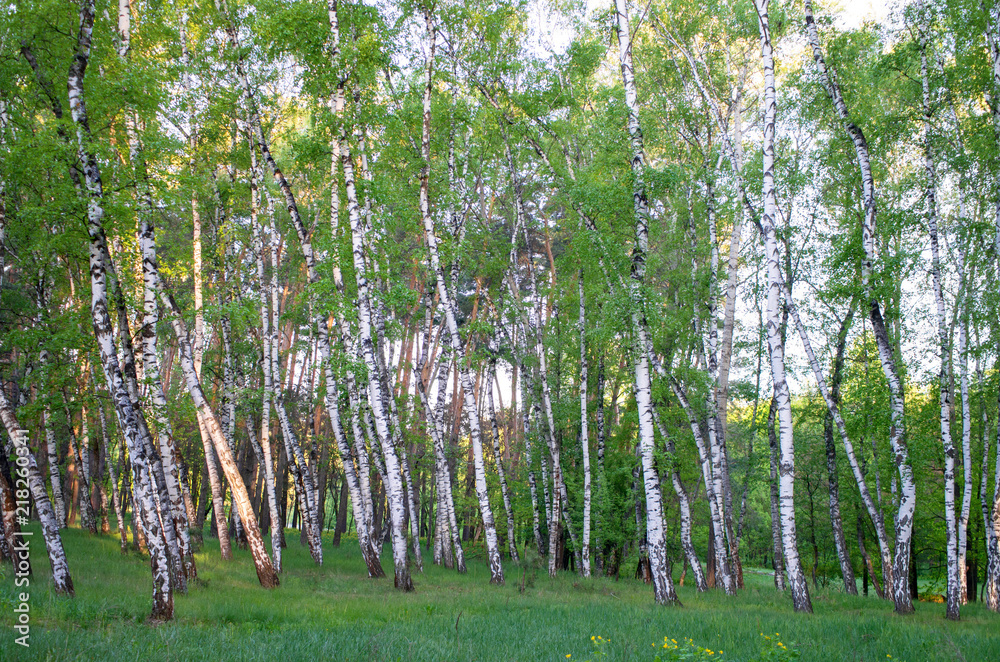 birch grove in the forest, green foliage in summer