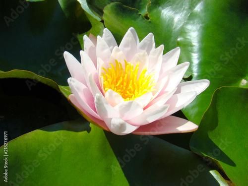 Foto op Canvas Lotusbloem white and pink lotus flower