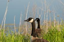 Profile Portrait Of A Canada Goose