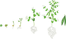 Life Cycle Of Pea Plant With Root System. Stages Of Pea Growth From Seed And Sprout To Adult Plant With Fruits