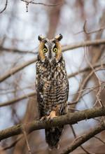 Long-Eared Owl On A Branch