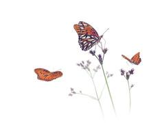 Gulf Fritillary Butterflies In...