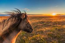 Icelandic Horse Enjoys A Sunset