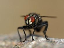 Flesh Fly (Sarcophaga)