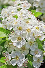 Spring May  Branches Of Blossoming Wild Plum Tree With White Small Flowers.
