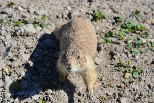 Photo  Cute and lovely Prarie Dog