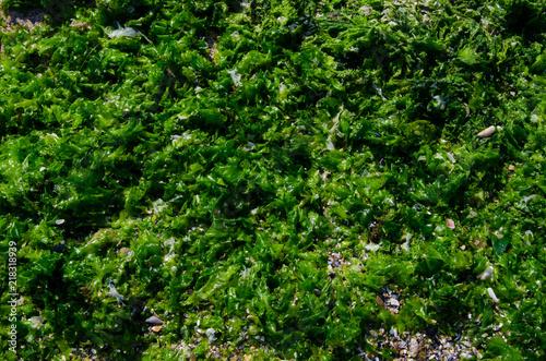Algae cast ashore at Krapets beach, Black Sea, Bulgaria