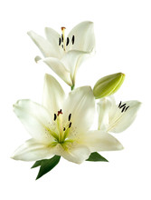 A Bouquet Of White Lilies Isol...