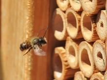 Wild Mason Bee (prob. Osmia Bi...