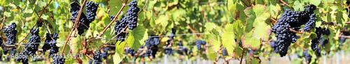 Blue grapes on vine panoramic image