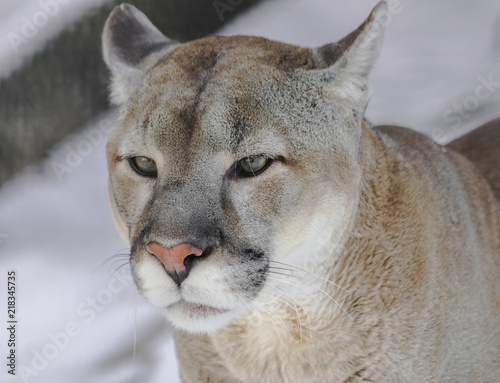 In de dag Puma North American cougar head portrait (Puma concolor couguar)