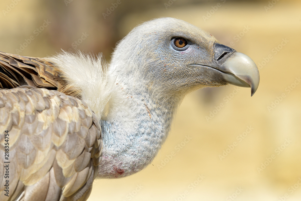 Portrait of griffon vulture (Gyps fulvus) seen from profile