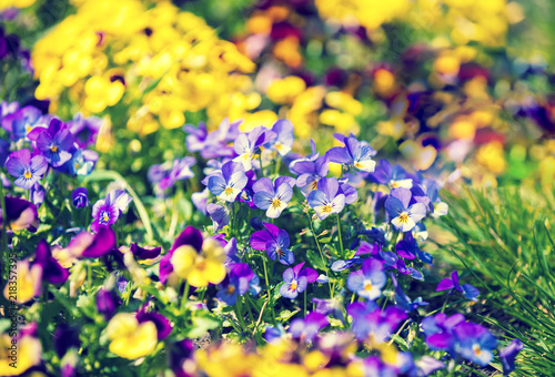 Poster Jaune Blossoming colorful viola flowers in a garden
