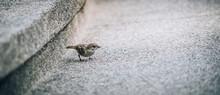 Sparrow Ordinary In The City O...