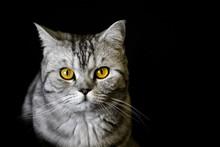Gray Streaky Cat With Yellow E...