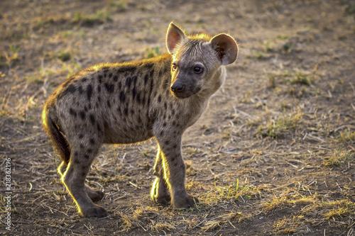 Foto op Aluminium Hyena baby hyena