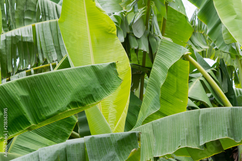 In de dag Narcis green leaves natural background wallpaper, leaf texture,