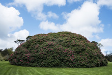 Garden With Freshly Mowed Lawn And Large Round Rhododendron With Pink Blossoms Under A Cloudy Sky.