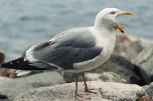 Seagull Tongue