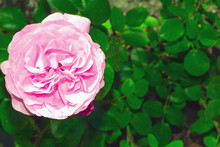 Pink Rose Flower In Blurry Natural Background Close Up. Bright Blooming Pink Rose Head Fully Open In Flower Garden. Template Or Mock Up. Top View.