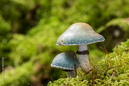 Fotografie, Obraz  Strophaire vert-de-gris (Stropharia aeruginosa)
