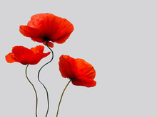 Bright Red Poppy Flowers  Isolated On Light Grey Background