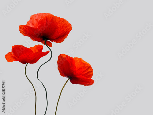 Obraz bright red poppy flowers  isolated on light grey background - fototapety do salonu