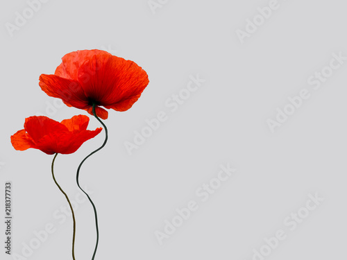Poster Poppy bright red poppy flowers isolated on light grey background