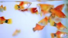 Little Platy Fish, Fancy Platy...