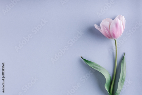 Fotobehang Tulp Pink tulip flower on light blue background. Greeting card or wedding invitation. Flat lay, top view