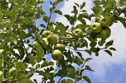 Äpfel auf Streuobstwiese, Apfelsorte Topaz