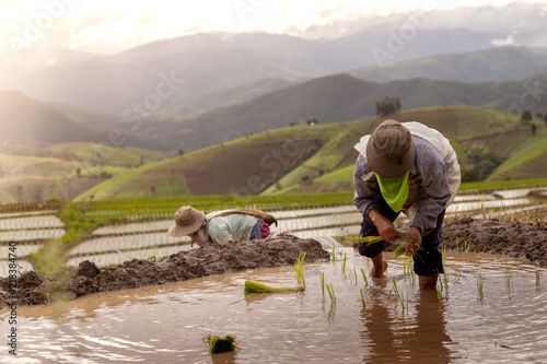 Poster Rijstvelden Rice farmers transplant in the paddy field on rice field terraced in north Thailand, Mae jam, Chiang Mai, Thailand.