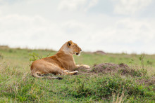 Lone Lioness On Grass Looking Out At Masai Mara National Reserve, Kenya