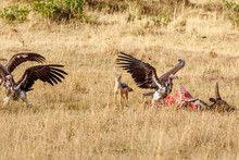 Black-backed Jackal Chasing Vultures From A Carcass Of A Cow At Masai Mara National Reserve, Kenya