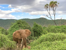 African Elephant Standing In The Green Bushes With Ears Open Looking Straight