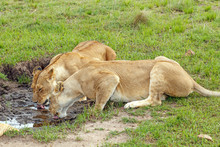 Two Lionesses Drinking Water From A Rain Puddle At Masai Mara National Reserve, Kenya