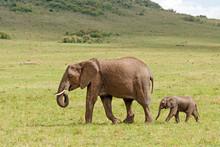 African Elephant With Calf Walking Behind On A Grassy Plain At Masai Mara National Reserve, Kenya